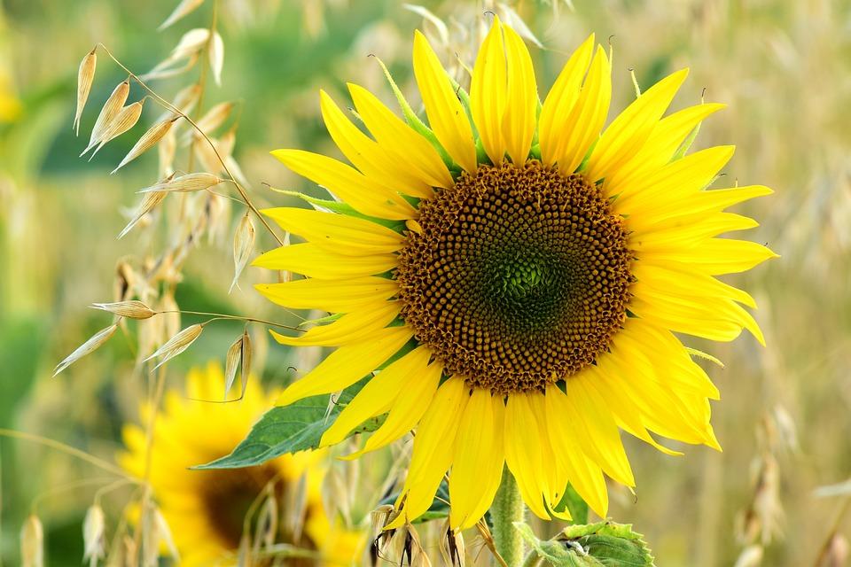 sun-flower-2530274_960_720